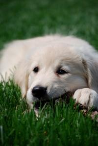 PuppyChewing