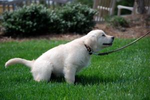 puppypeeing